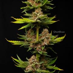 Mendocino Purple Kush / MedicalSeeds