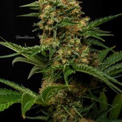 Prozack / MedicalSeeds