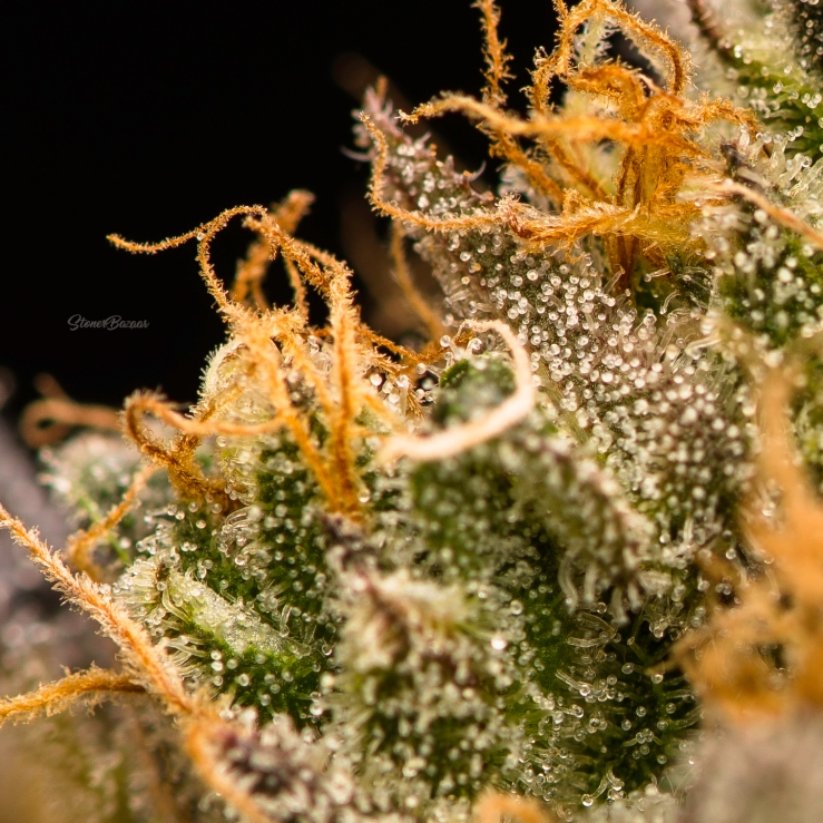 Limitless-trichomes2